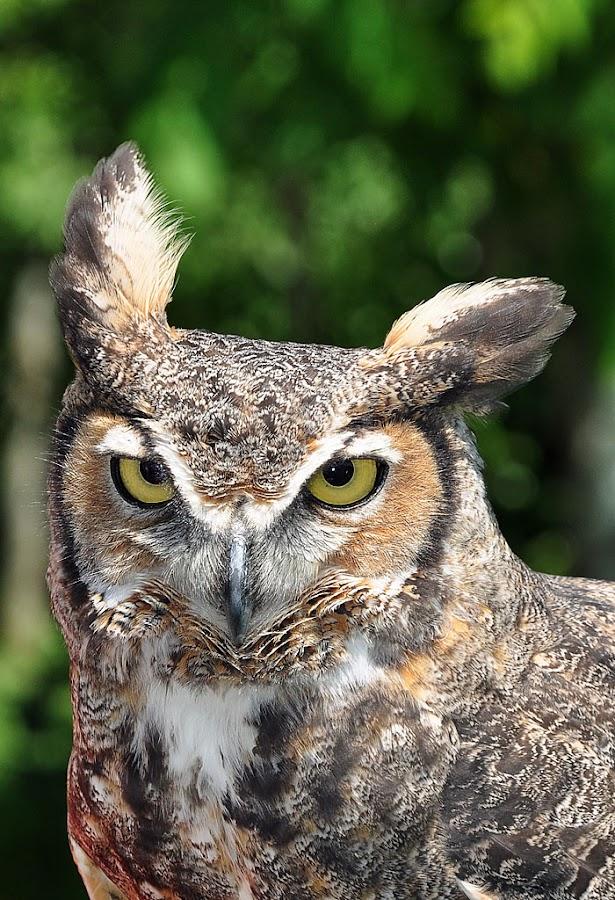 Great Horned Owl / Grand duc by Hélène Girard - Animals Birds