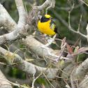 tángara primavera - Blue-winged Mountain-tanager