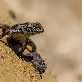 Desert Life by John Crongeyer - Animals Reptiles ( sand, lizard, desert, scales, wildlife, reptile,  )