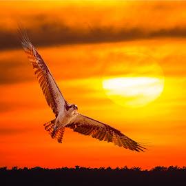 Osprey Backlighting at Sunset by Carl Albro - Digital Art Animals ( bird, sunset, digital art, sun,  )