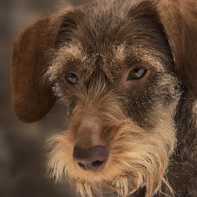 teckel by Anja Voorn - Animals - Dogs Portraits