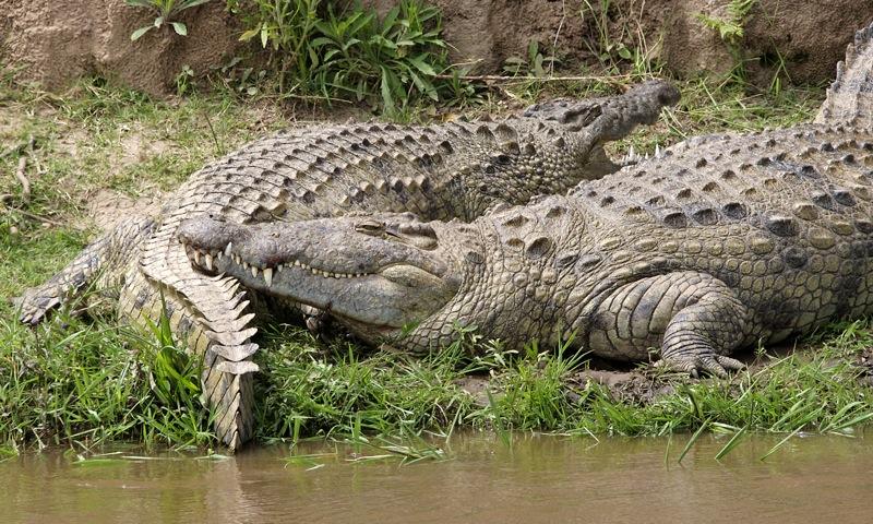 File:Nile croc couple 690V1510 - Flickr - Lip Kee.jpg