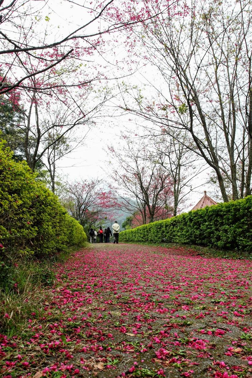 櫻花..本來以為進入森林遊樂區可以看到更多,因此沒拍很多張櫻花的照片....我錯了,進去遊樂區後連半顆櫻花樹都沒有,只有看到滿地的楓樹落葉...