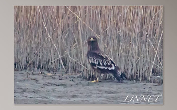 Photo: カラフトワシ  ( Greater Spotted Eeagle )