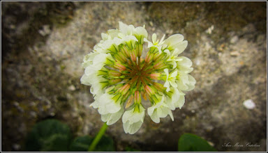 Photo: Trifoi (Trifolium)  - din Turda, Str. Salinelor, Nr. 15 - 2019.05.13