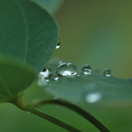 Harvesting tear drops by Jane Sherwin - Nature Up Close Leaves & Grasses