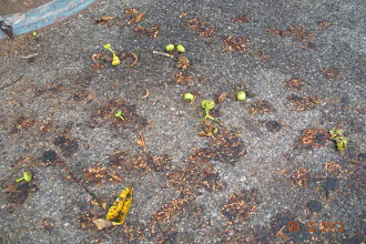 Photo: Figs, or ficus, deadfall n sidewalk, Santa Barbara, California,   September 12, 2012.