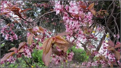 Photo: Corcodus ornamental rosu (Prunus cerasifera Nigra) - de pe Str. Libertatii - 2018.04.17
