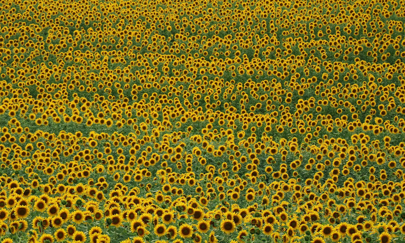 Sunflowers di MauroV