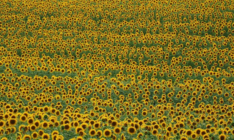 Sunflowers di MauroV