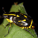Yellow blotched scarabeid beetle