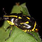 Yellow blotched scarabeid beetle