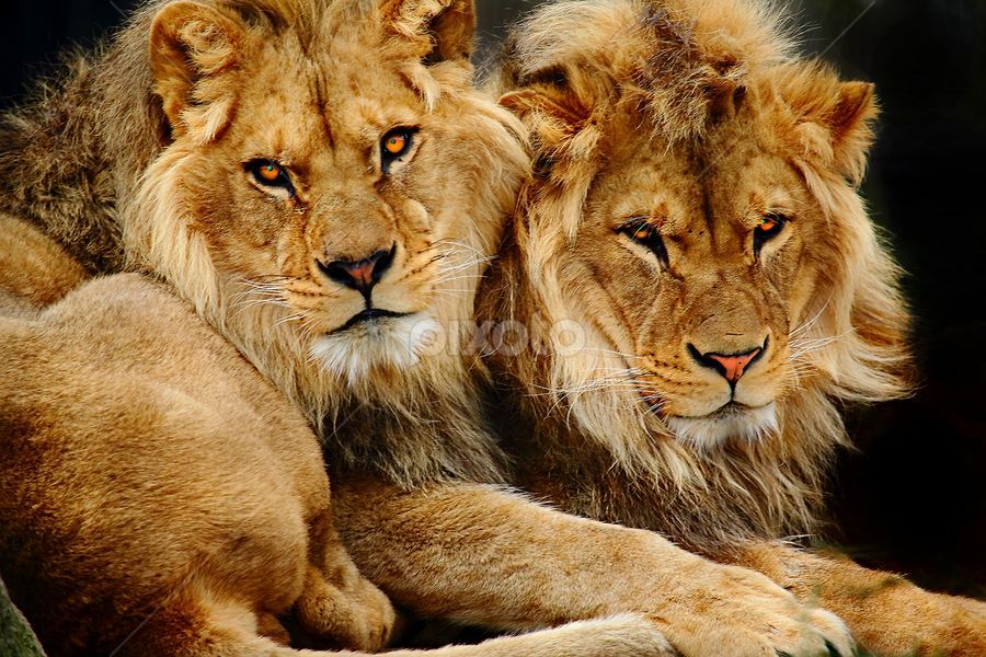 Brothers by Gérard CHATENET - Animals Lions, Tigers & Big Cats (  )