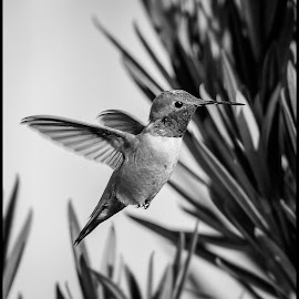 Rufus Hummingbird by Dave Lipchen - Black & White Animals ( rufus hummingbird )