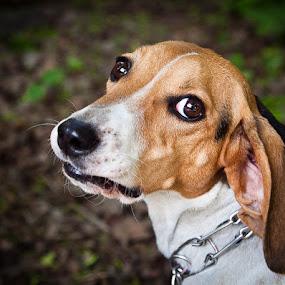 by Dmitry Samsonov - Animals - Dogs Portraits