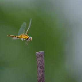 The leap by Bikramjit Chakraborty - Animals Insects & Spiders ( insect, dragonfly, nikon 300mm f/4d, nikon d7000 )