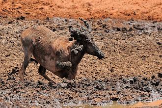 Photo: Mud bath. A Tsesebe at the Haak en Steek waterhole.