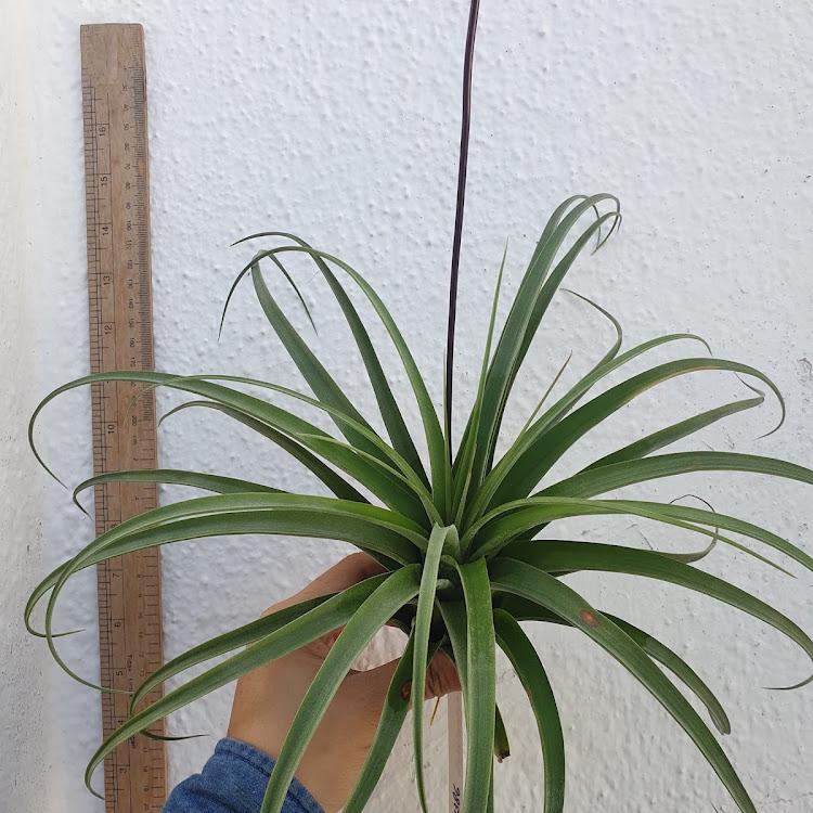 Tillandsia Streptophylla x Novakii