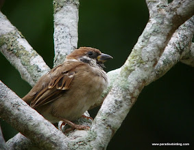 Photo: Eurasian Tree-Sparrow, a common introduced species in developed areas of Sabah