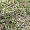 Northern Lined Snake