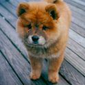 Dog Puzzle: Chow Chow icon