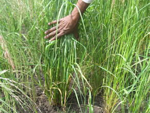 Photo: Teff grown with the System of Teff Intensification (STI), Oromia, Ethiopia. 2012. [Photo from Tareke Behre]
