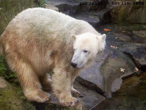Photo: Unternehmungslustiges Eisbaerchen Knut :-)