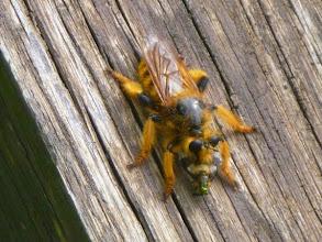 Photo: POGONOSOMA MAROCCUM (diptère)  Un de mes correspondants belge en vacances dans la Drôme à Suze-sur-Crest, me transmets la photo de cet étonnant diptère rare en France mais qui nous est apporté de temps en temps dans le Midi par les courants aériens chauds, comme c'est le cas actuellement. Ce diptère est un prédateur des guêpes et des abeilles et autres insectes. Photo Michel AZION - 05.07.2015.