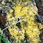 Gold dust lichen