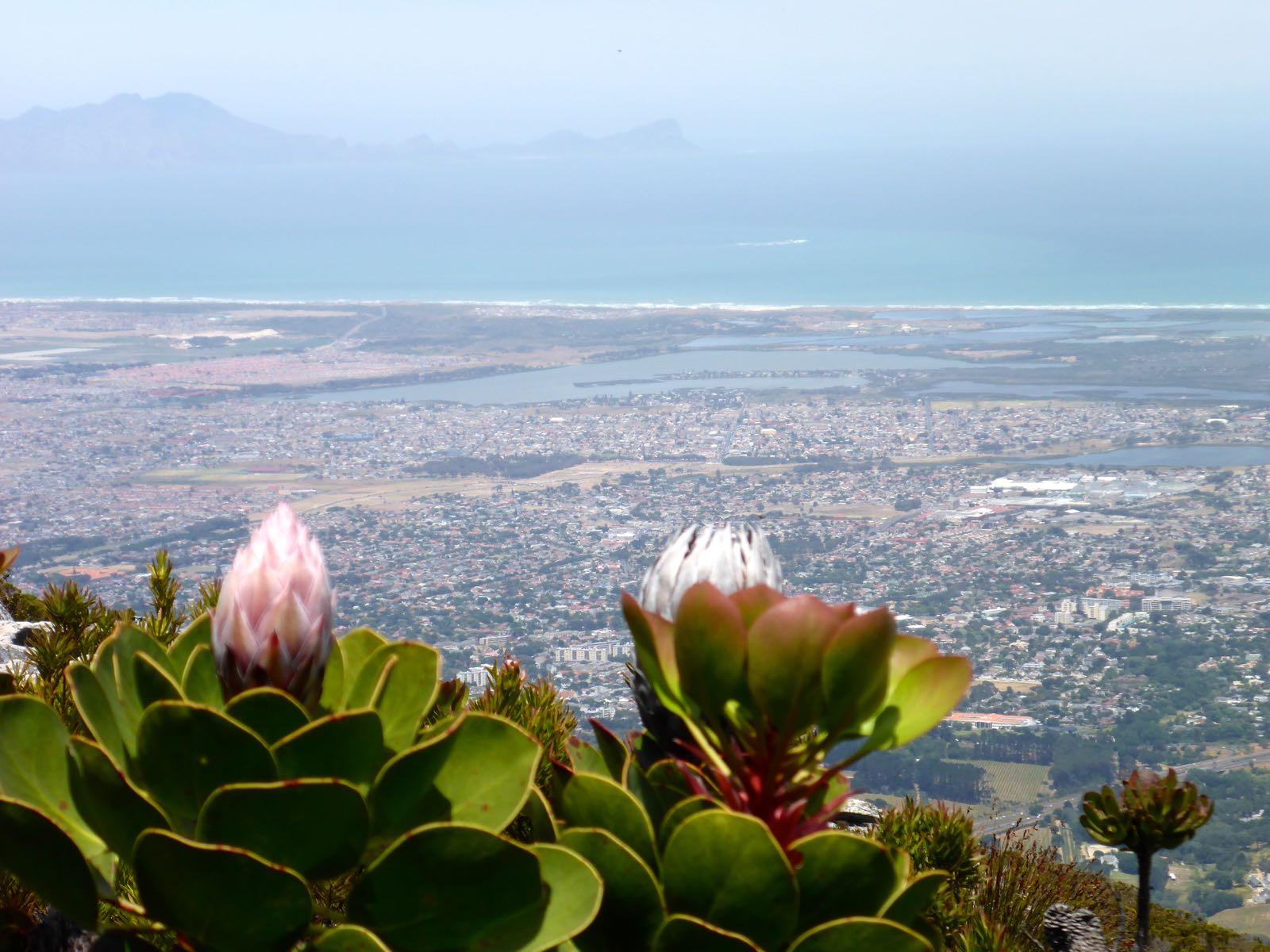 Protea und Falsebay im Hintergrund