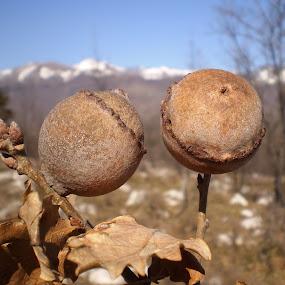 hrastova šiška - the oak gall by Marijana Gašpić - Nature Up Close Other plants ( tree, nature, oak )