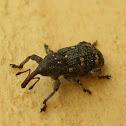 Large pine weevil / Долгоносик большой сосновый