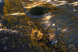 Photo: Massive tree flower deadfall Santa Barbara, California, June 30, 2012.