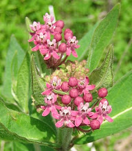 Photo: Downy Swamp Milkweed, 6.30
