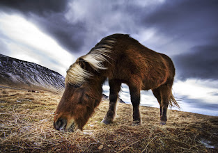 Photo: An Icelandic Horse in the Wild  I don't shoot a lot of animals, because I find it hard to improve upon what other great animal photographers have done in the past. However, here is a tip for shooting animals. It's kind of a lame trick, but it always works. Use a wide-angle lens and get in close. It always makes the head look really big and cute. Humans love big-headed animals and it always makes them smile. Why this is, I have no idea... Note this trick also kinda works with babies.  By Trey Ratcliff at http://www.StuckInCustoms.com