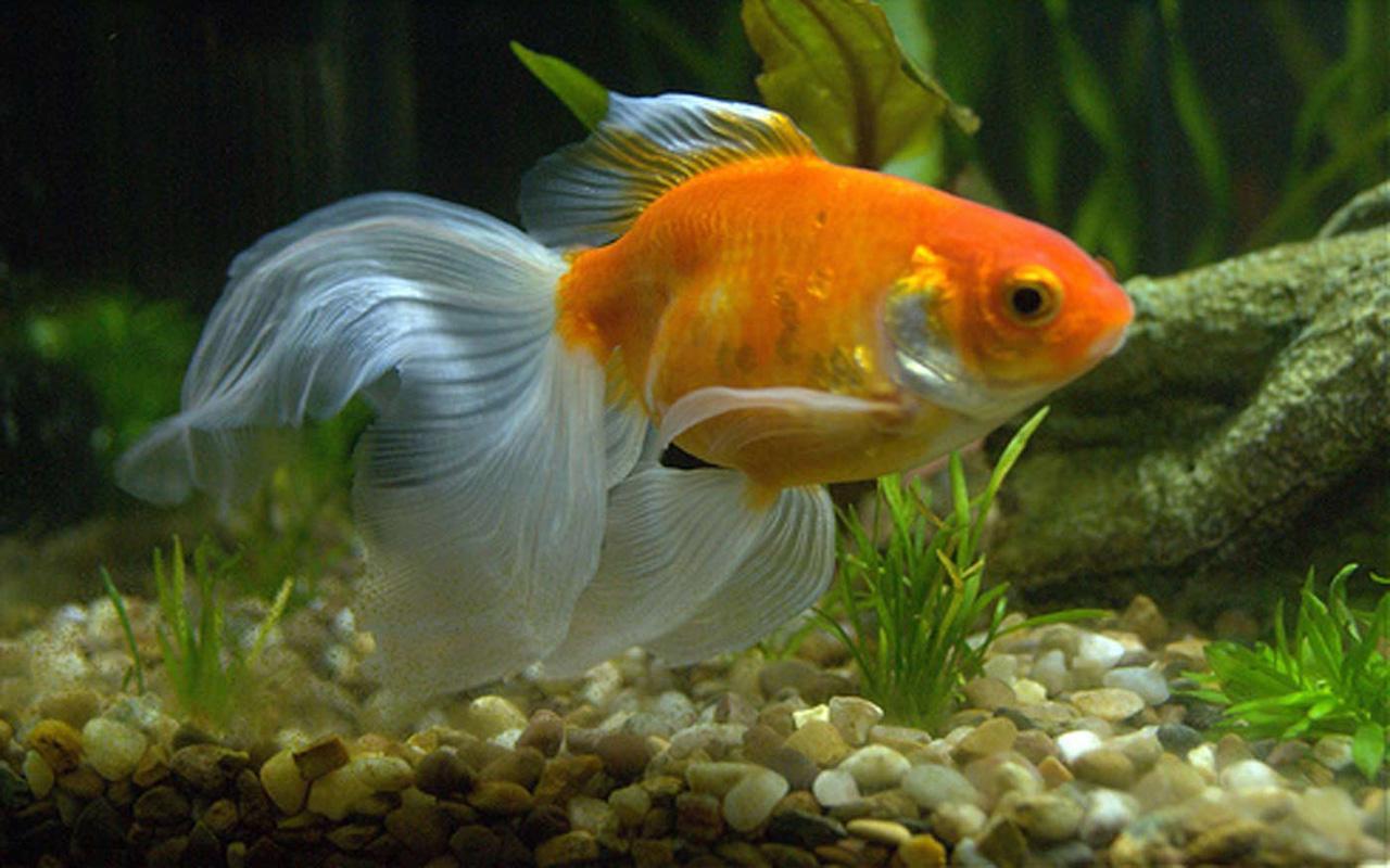 Живые обои для андроид золотые рыбки