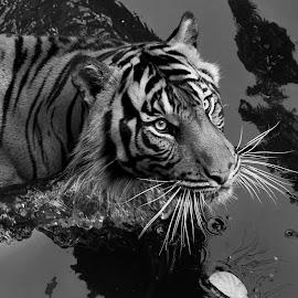 Tiger BW by Robert Cinega - Black & White Animals