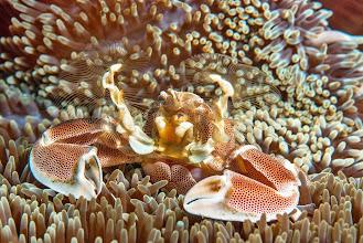 Photo: Anemone Crab, Mozambique