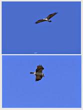 Photo: 撮影者:岡本 昭男 ミサゴ タイトル:アユ釣りの時期にやってきたミサゴ 観察年月日:2014年10月25日 羽数:1羽 場所:浅川、平山橋下流200㍍付近 区分:猛禽(平山橋近辺では初認) メッシュ:武蔵府中1J コメント:散歩に出たところ、川下からひらひら飛んで来た。橋の下流で不意に急降下して魚を捕らえた。平山橋を越えて数羽の鴉に追われる。一羽の鴉に執拗に追われ川からそれて北方向に飛んで家の屋根に見えなくなった。今期、この場所では初認。写真はこの30分前位に撮影したもので同じ個体が下流・上流を往復したものと思われる。 (備考)鳥信にて報告済み
