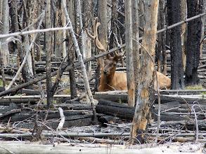 Photo: A sleepy elk appears!