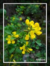 Photo: Coronille, Hippocrepis emerus subsp. emerus