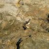 Mariposa cometa de tres colas