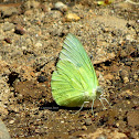 Lemon Emigrant ♂