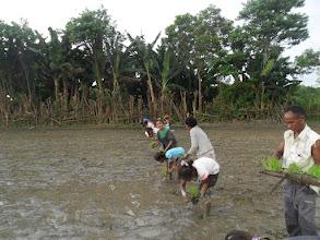 Photo: Transplanting Rice in Timor Leste.  [Photo courtesy of Movimento Co-operativa Econômica Agricoltura  (MCE-A) SRI program, Timor Leste, July 2015]