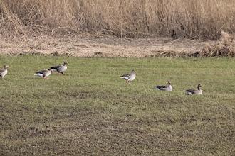 Photo: Grauwe ganzen