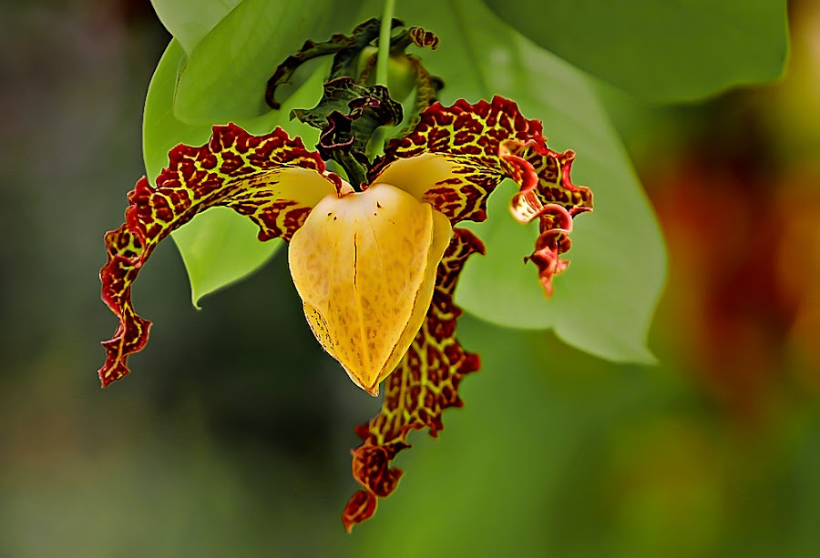 *** by Shibram Nag - Flowers Single Flower ( close up, nature, flower )