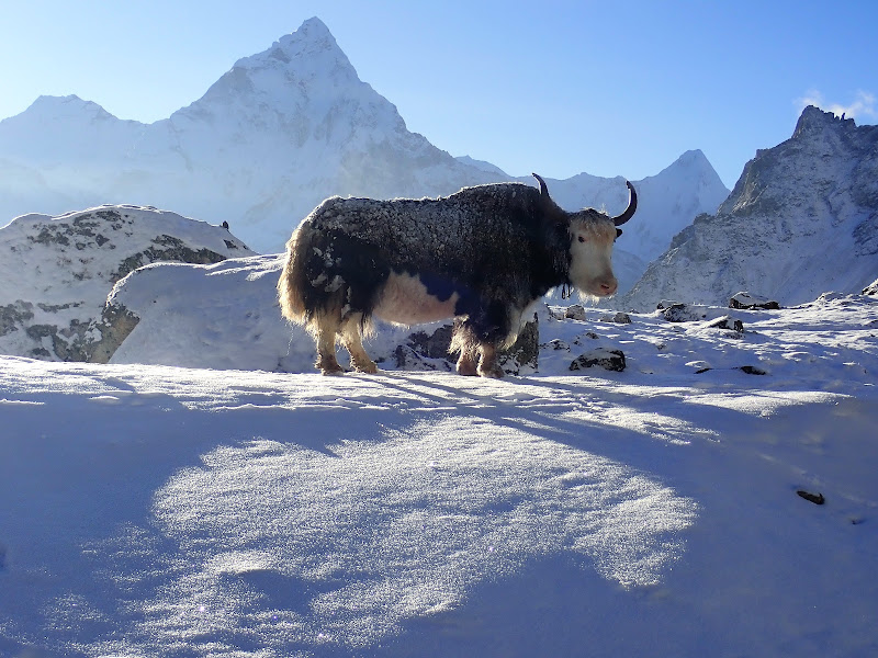 Lo Yak, il signore delle nevi di laura62