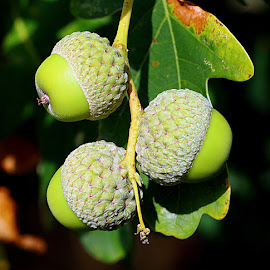 Three Acorns by Chrissie Barrow - Nature Up Close Other Natural Objects ( cups, nature, green, oak, nuts, leaves, closeup, acorns,  )
