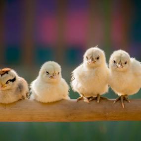 Little Chick by Adnan Hidayat Prihastomo - Animals Birds ( chicken, animal, cute, chick, group )