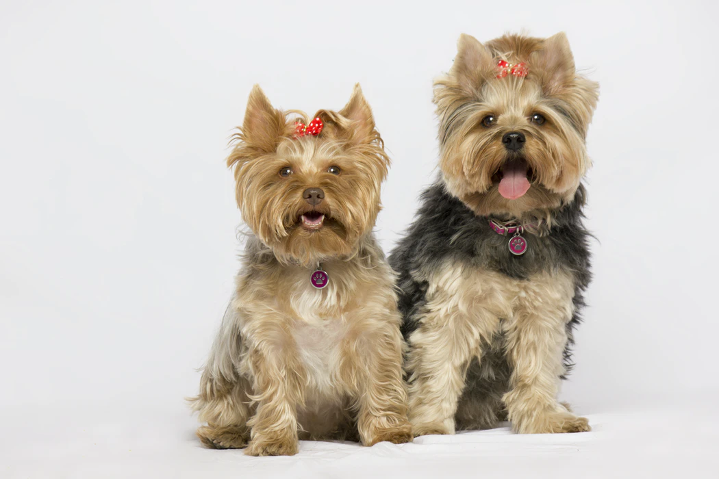 small dog breed, yorkshire terrier